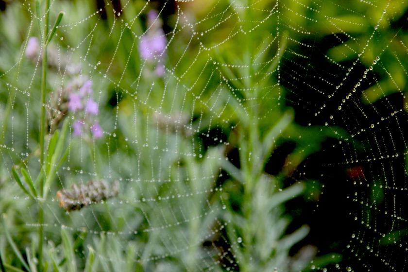 lavenderweb